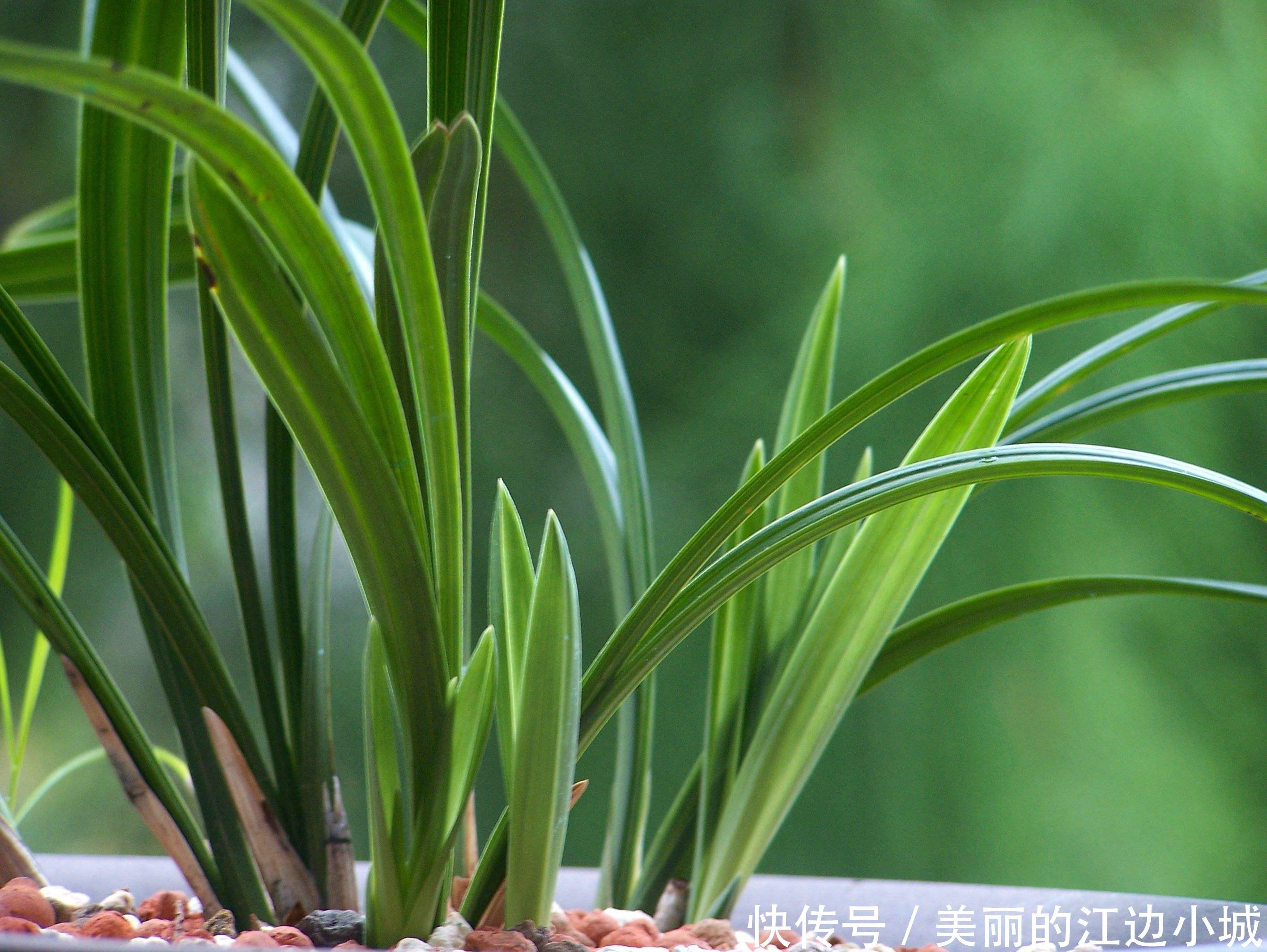 9月份兰花养护技巧,掌握几点,新叶蹭蹭冒,叶片油绿不干尖