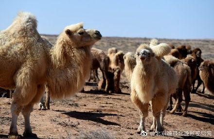 澳大利亚将射杀1万只骆驼 ,只因为它们喝了太多水?
