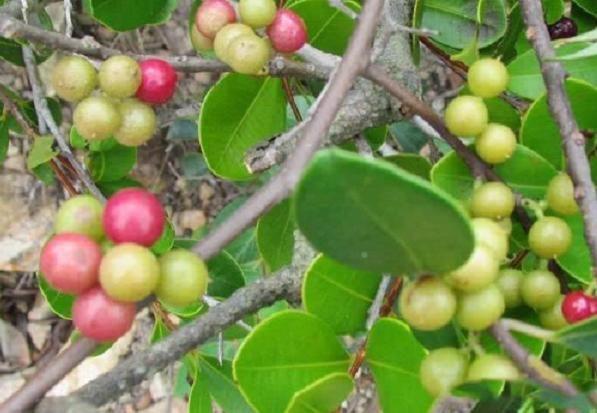山里常见的一种水果,曾是农村娃的零食,如今却卖到60元一斤