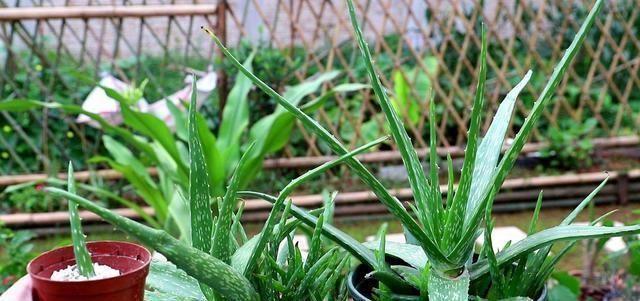 家里■这两种植物养得好,稍微注意就能养出老桩来价值高气势好