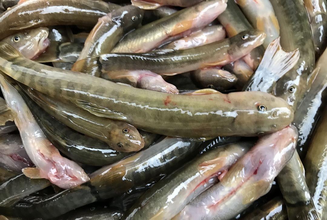 少有@农村一种淡水鱼,背上带刺,市场卖60块一斤,为何少有农户