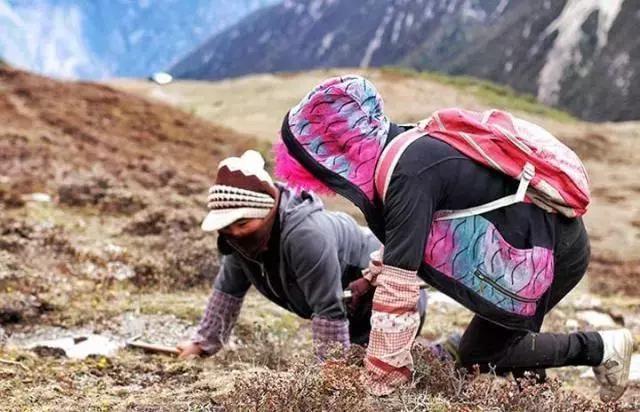 关于上乘的西藏那曲虫草的一些购买经验!藏民帮您鉴定,防止被骗