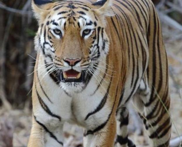 一老虎被黑色包包吸引,转身叼起就走,一旁的游客脸都黑了
