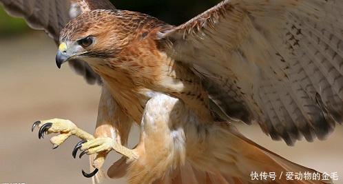 雄鹰威武霸气的准备伏击猎物,但接下来发生的事让它永远抬不起头