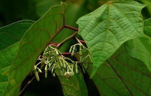 """『毒植物』这东西,俗称""""一杯醉"""",价值珍贵却有毒,野外遇见,请勿乱碰!"""