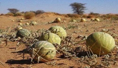"""在沙漠中旅行,看到这种""""西瓜"""",就是再渴也不能吃"""