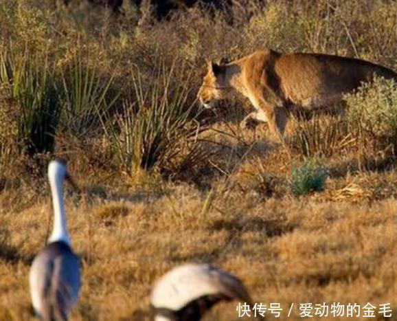 母狮偷袭羚羊,羚羊发觉后竟跳到了半空中,最后还给了母狮这一下
