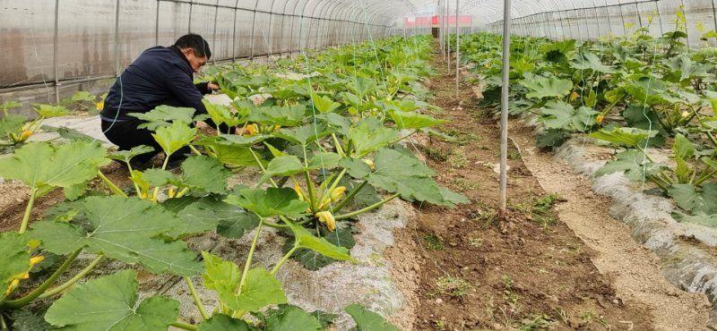 """稳定:湘东山区蔬菜大棚里的""""稳定脱贫""""希望"""