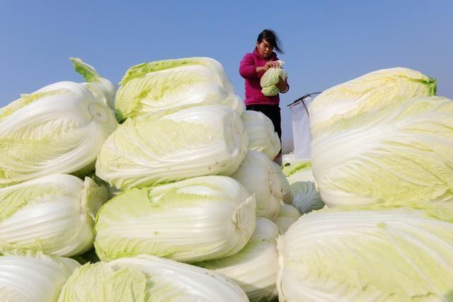 大城市将及时投放储备蔬菜 大连已准备投放市级储备蔬菜
