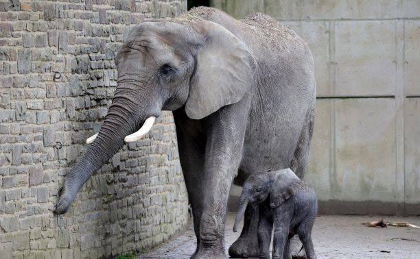 『动物园中的新生小象』德国新生小象亮相依偎母亲身旁形影不离