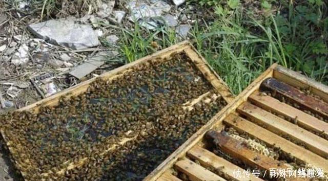 [推荐]新分蜂群蜜粉充足,为何还要奖励饲喂老蜂农告诉你其中妙用