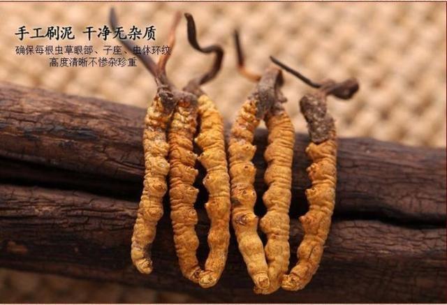 来月经可以吃冬虫夏草吗?女性吃冬虫夏草帮您更好的保护自己!