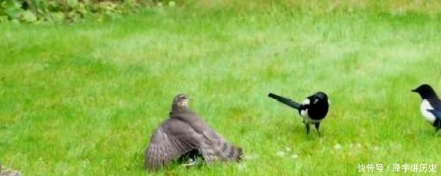 鸟类@为什么有人说鹰等猛禽不吃喜鹊呢 资深女教授道出其中玄机