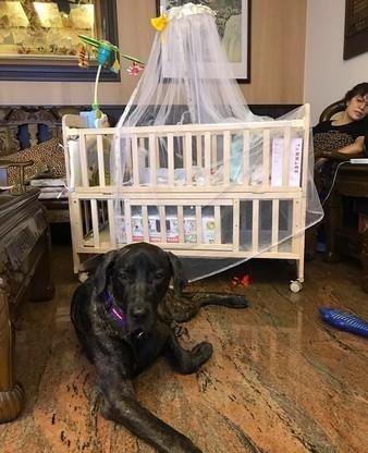 巨型狗狗超爱小主人,看到奶奶帮他换尿布,超紧张伸长脖子看