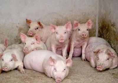 【产品】广西养殖行业防控非洲猪瘟:替代产品保供给