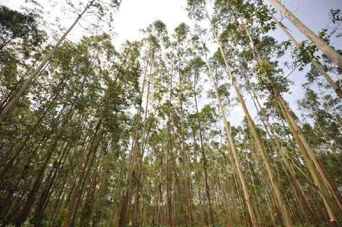 世界未解之谜:树到底可以长多高?这三种树的个头竟然超过百米?