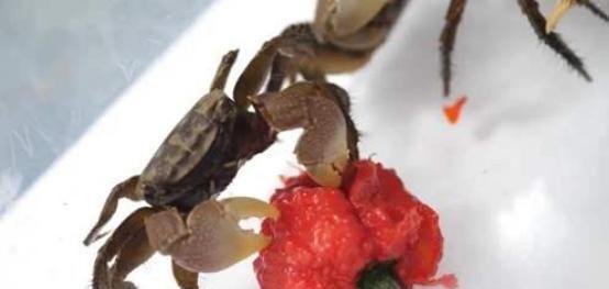 """『朝天椒』""""魔鬼辣椒""""到底有多辣?看看螃蟹的下场,简直不敢相信"""