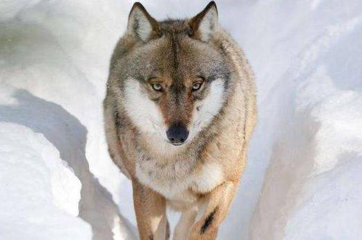 """心理测试:四匹""""狼""""你觉得哪一匹是狼王?测你未来是否幸福!"""