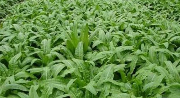 莴笋降低血压、促进消化,农民掌握高产要点,收获吃不完的莴笋