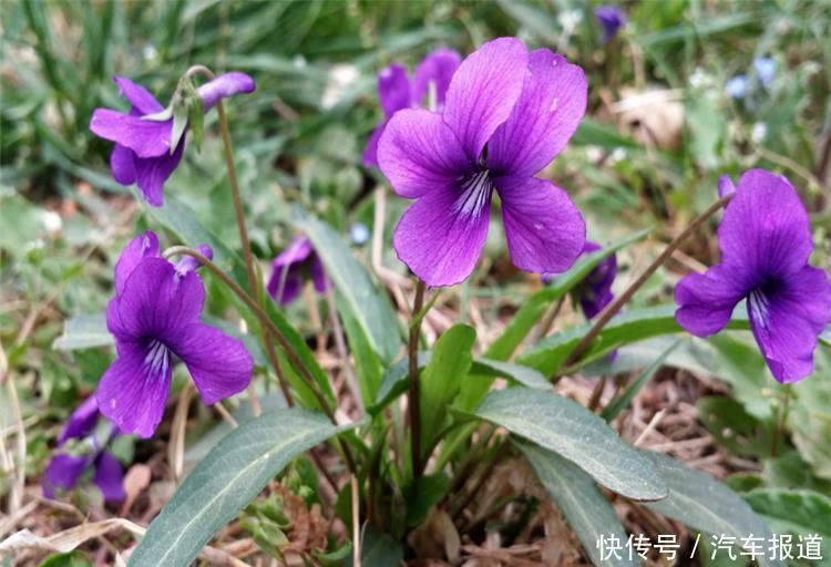 農村常見的一種紫色草,農民當成雜草,如今一斤能賣30元!