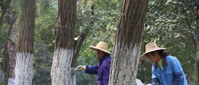 同样是树干涂白,园林行业却往往存在诸多误区,这是为什么?