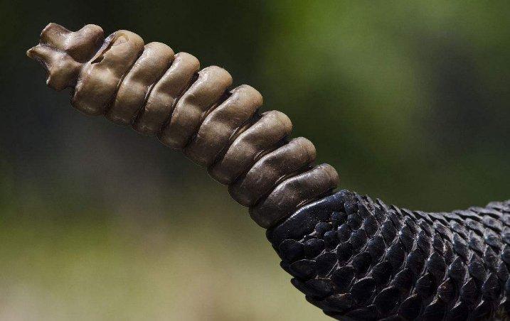 瑟瑟胡,響尾蛇的尾巴響個不停,切開看看里面有什么?看完漲見識了