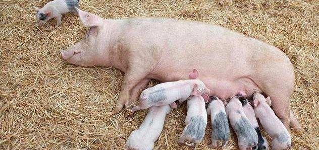 母猪吃食还可以,就是精神不怎么好,是怎么回事?