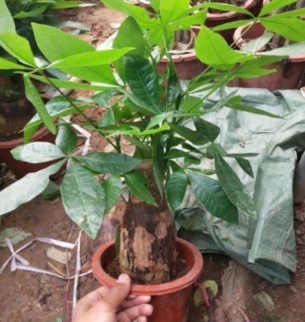 【日常】盆栽发财树如何做好日常管理掌握4点,黄叶烂根也能救回来