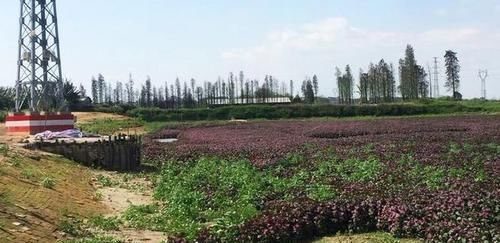 种植@国内当野菜,国外却是高档菜,农民大量种植专供日本,1斤卖30元