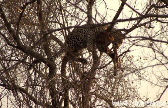 花豹本想悄悄抢走鬣狗食物,无奈被发现了,灰溜溜的又爬回了树上