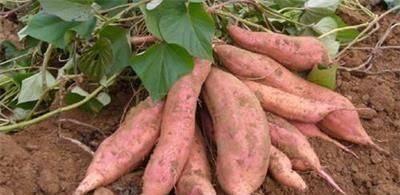 『酷似』长相酷似地瓜,价格却高达15元一斤,脆甜如蜜,农民:别下雨就行