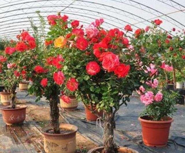 『养盆』喜欢养花,不如养盆蔷薇花花色众多,极为的漂亮 。