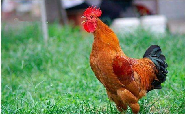 【鸡苗】九月第一天 鸡苗不涨了,毛鸡价格回落,走~