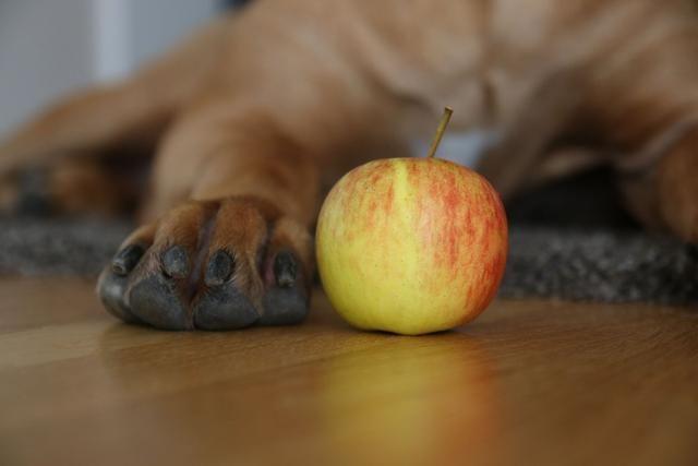 狗狗能吃苹果吗?苹果对它有害吗?正确的方式喂食对它身体有益
