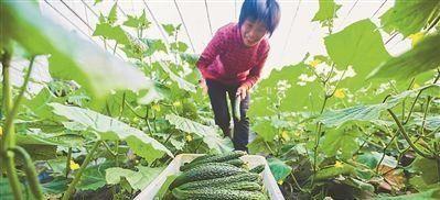 黄瓜买直的好还是弯的好?多亏老菜农告诫!