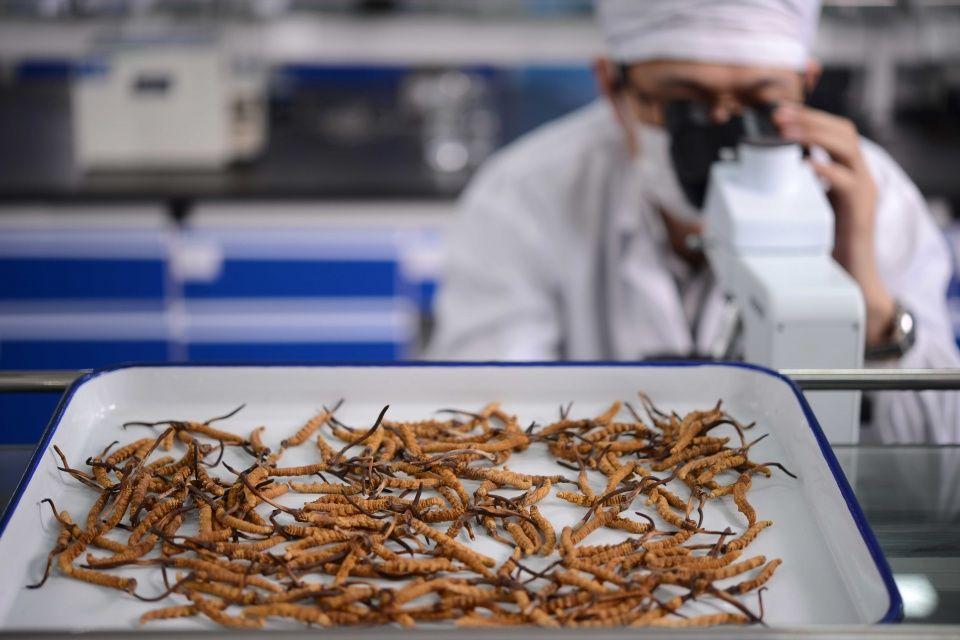 你知道冬虫夏草什么人不能吃吗?解读虫草食用禁忌