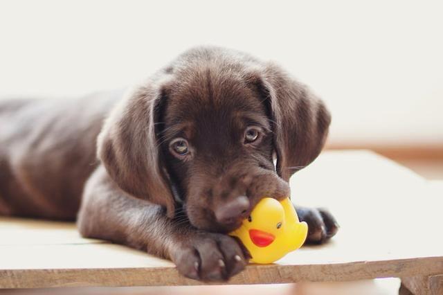 狗狗为什么喜欢吱吱响的玩具?它们不是在玩,是被激起了狩猎本能