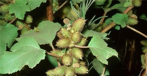 买不到■乡下这植物经常粘衣服,虽有毒价值却高,10元一斤都买不到