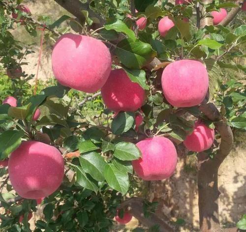 【静宁】各地晚熟红富士苹果价格纷纷出炉,静宁苹果