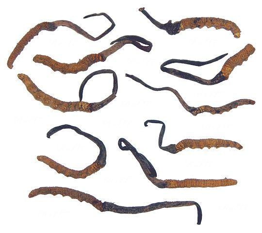 冬虫夏草完败于蛹虫草,那是不是就该吃蛹虫草了?