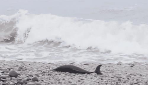 [小海豚]海豚幼崽被人类所救,接下来的事情,让科学家实在想不明白!