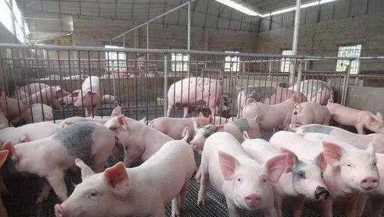 【利润】一头猪利润达1400元,专家对小养殖户的建议