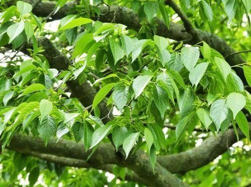 """人称""""植物黄金"""",农民种植它,只要皮不要树干,成为致富树"""