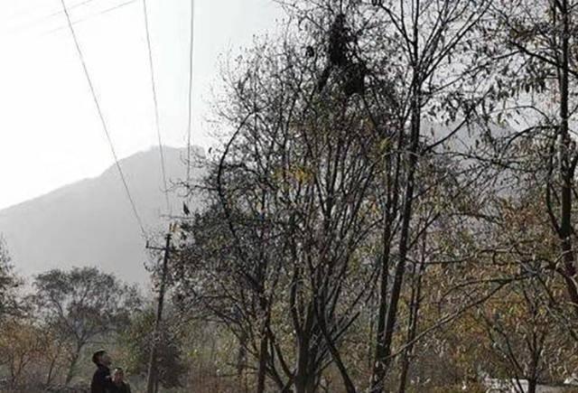 「采摘期」爬几米高树上采摘,采摘期仅10天,商贩还拼命压价,农民:太苦了