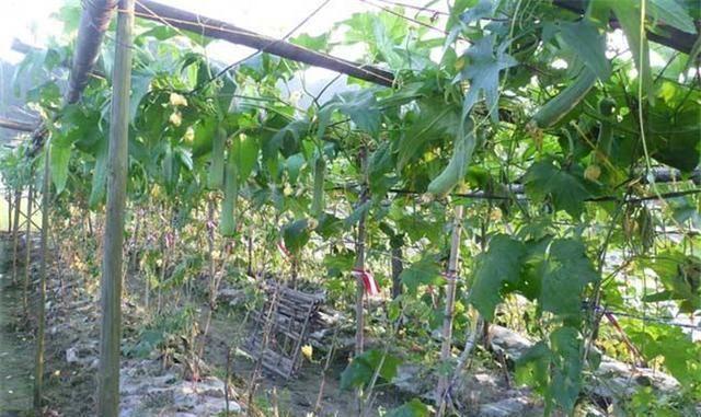 种一棵吃一季,长期卖廉价,还不动量,仍许多人很多栽种