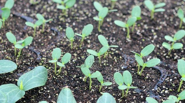 蔬菜@清明前后栽瓜种豆先育苗