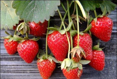 掌握草莓管护方法,草莓好吃到停不下来