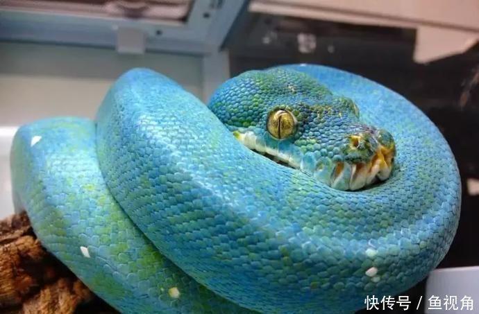 万中无一!世界上最昂贵的蟒蛇,一条价值堪比一辆豪华跑车!