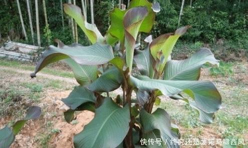 『随处可见』人称美人蕉,曾在农村大量种植,能吃也能做味精,如今成观赏植物
