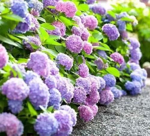 """『盆栽的绣球』绣球爆开花,做好""""2件事"""",叶子绿到流油,花苞多,花期长"""
